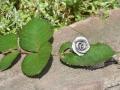 rosenring